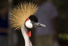 Grey Crowned Crane (Close-up) Stock Images