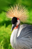 Grey Crowned Crane Stock Photography