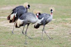 Grey Crowned Crane royalty free stock image