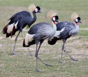 Grey Crowned Crane Stock Image