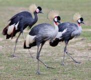 Grey Crowned Crane stock image
