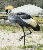 Grey Crowned Crane Royalty Free Stock Photography