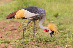 Grey Crowned Crane Eating fotos de stock