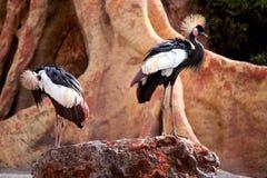 Grey Crowned Crane in einem Exklusiven umgebend stockbilder