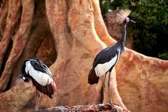 Grey Crowned Crane in exclusieve omringend stock foto's