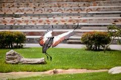 Grey crowned crane in flight Royalty Free Stock Image