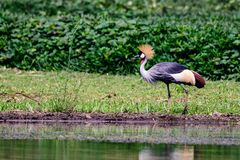 Grey crowned crane foraging Stock Images