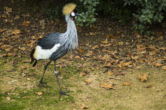 Grey crowned crane. A great crowned crane, one of the biggest birds Royalty Free Stock Image
