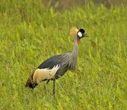 Grey Crowned-Crane, Grijze Kroonkraan, regulorum de Balearica images libres de droits