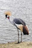Grey Crowned Crane - gru incoronata Africano Immagine Stock