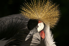 Grey Crowned Crane sexies Stock Image