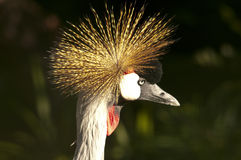 Grey Crowned Crane sexies Royalty Free Stock Photography