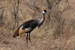 Grey Crowned Crane, Kenya, África imagem de stock