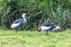 Grey-crowned Crane, Kenya, Africa stock photo
