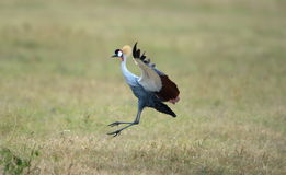 Grey Crowned Crane. A Grey Crowned Crane landing on an African grassland Stock Photography
