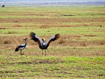 Grey Crowned Crane Matting Dance Stock Images