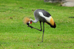 Grey Crowned Crane. In open zoo stock photography