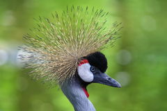 Portrait of bird. Grey crowned crane Stock Photography