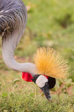 Grey Crowned Crane Portrait Eating Royalty-vrije Stock Fotografie