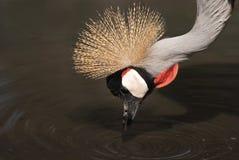 Grey Crowned Crane portrait Stock Photos