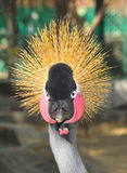 Grey crowned crane bird portrait (Balearica regulorum) Royalty Free Stock Photos