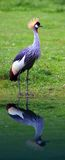 Grey Crowned Crane Royalty Free Stock Photos