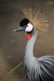 Grey Crowned Crane (regulorum de Balearica) Photo stock