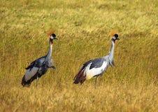 Grey Crowned Crane (regulorum di Balearica) Fotografia Stock Libera da Diritti