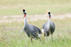 Grey Crowned Crane on savanna Royalty Free Stock Image