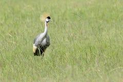 Grey Crowned Crane on savanna Royalty Free Stock Images