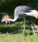 Grey Crowned Crane in seinen natürlichen Umgebungen Stockbilder