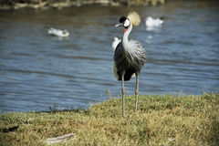 Grey Crowned Crane selvagem imagens de stock royalty free
