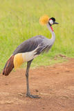 Grey Crowned Crane Side Portrait Immagine Stock