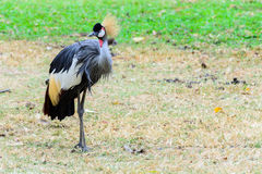 Grey crowned crane. Stock Photography