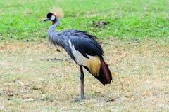 Grey crowned crane. Royalty Free Stock Photos