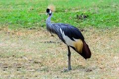 Grey crowned crane. Stock Photo