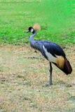 Grey crowned crane. Royalty Free Stock Photo