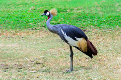 Grey crowned crane. Stock Images