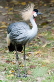Grey crowned crane standing by side Royalty Free Stock Photography