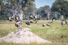 A Grey crowned crane on top of a termite mound. Stock Photo