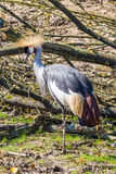 Grey crowned crane. Vertical full shot Stock Images