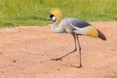 Grey Crowned Crane Walking royalty free stock images