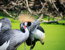 Grey Crowned Crane walking in water pond Royalty Free Stock Photos