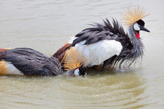 Grey Crowned Crane washing in natural water pool Royalty Free Stock Image