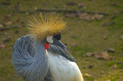 Grey crowned crane. A wonderful grey crowned crane Stock Photo