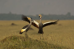 Grey crowned cranes Royalty Free Stock Photo
