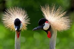 Grey Crowned Cranes - Balearica regulorum, a portrait. In a clearing royalty free stock images