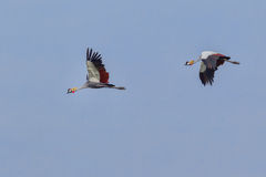 Grey Crowned Cranes Flying. A pair of Grey Crowned Cranes in flight over the Masai Mara, Kenya.  I was fortunate to capture one with wings up and the other, down Stock Photos