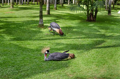 Grey crowned cranes Stock Photos
