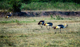 Grey crowned cranes in Kenya, Africa royalty free stock images